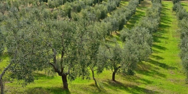 Tour in a Traditonal Semimountainous Olive Grove